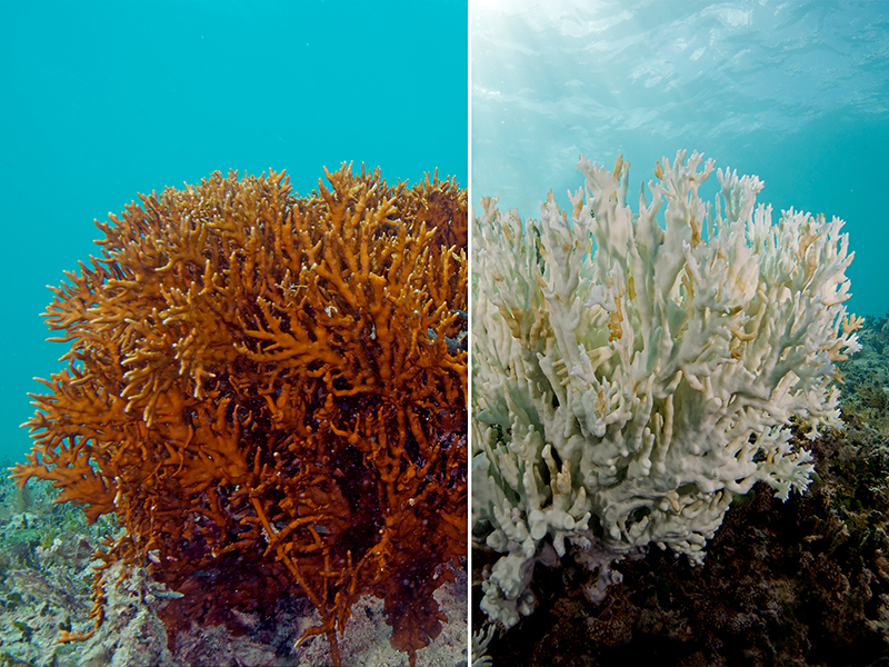 A fire coral before and after bleaching.