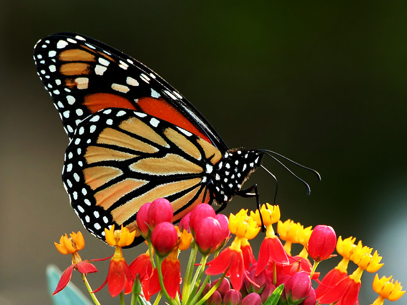 A monarch butterfly on red tropical milkweed at the Grapevine Botanical Gardens in Texas.