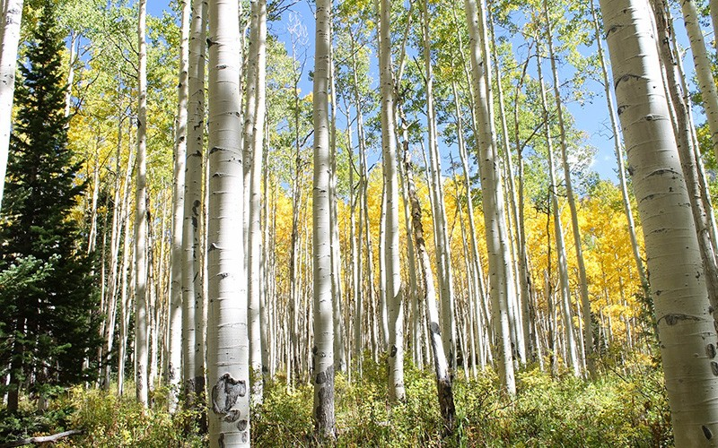 Aspens in the lease expansion area.