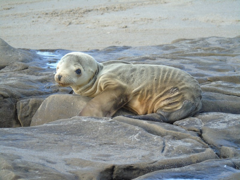 Thousands of starving sea lions have washed up on California shores due to sardine overfishing.